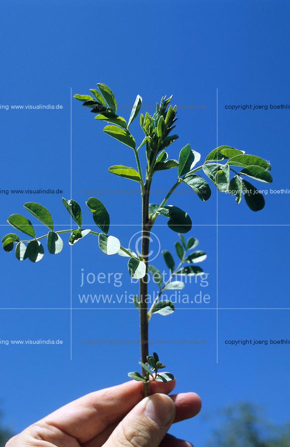 ITALY Calabria Rossano, harvest of liquorice plant Glycyrrhiza glabra which is used for licorice production of brands like Amarillo, HARIBO, Katjes / ITALIEN Kalabrien, Rossano, Ernte von Suessholzwurzel lat. Glycyrrhiza glabra, Nutzung als Heilpflanze und Rohstoff für die Lakritz Herstellung, Bestandteil von Amarelli Katjes Haribo und anderen Lakritzsorten