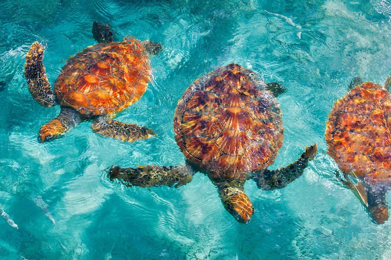 Green Sea Turtles. Bora Bora. French Polynesia.