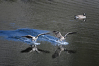 Canada Geese landing in Blacktail Ponds, Yellowstone National Park
