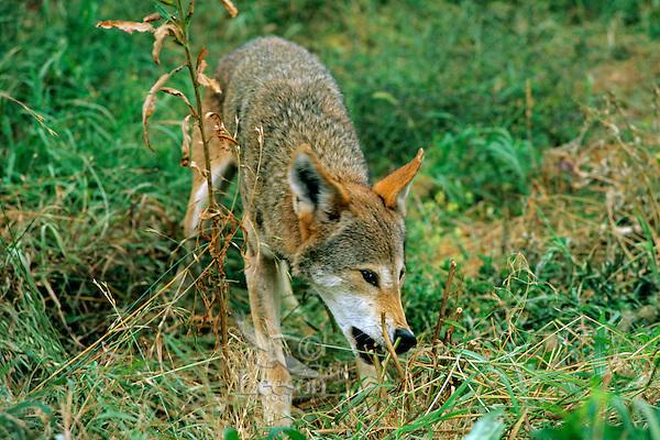 Red Wolf (Canis rufus) in endangered species breeding program (U.S. Fish & Wildlife), Florida.