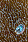 USA, California, Monterey Bay, abalone shell on kelp