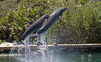 Bottle Nose Dolphins jumping in Xel Ha Mexica