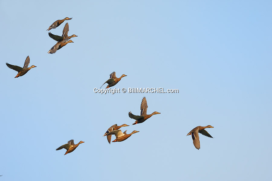 00330-067.14 Mallard Duck (DIGITAL) flock of immature birds in flight. Green bills on drakes, orange bill on hens.   Hunt, action. H2R1
