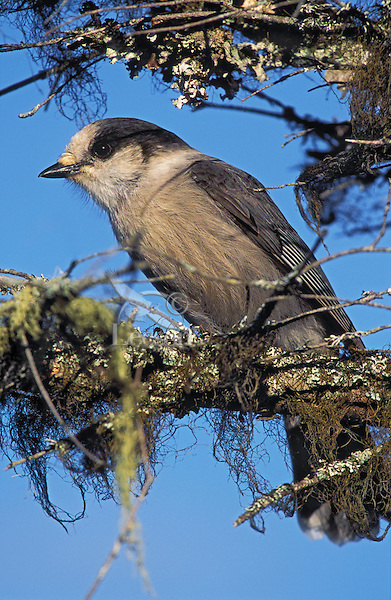 Boreal Forest. Gray Jay ( Perisoreus canadensis) on balsam fir covered in moss & lichens. Autumn. Canada..Gros Morne National Park, Newfoundland.