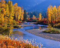 Cottonwood Trees in Golden Autumn Fall Colors, Nason Creek, Cascade Mountain Range, Washington, USA.
