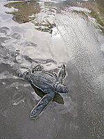 leatherback sea turtle hatchling, Dermochelys coriacea, entering the ocean for the first time, Dominica, Caribbean, Atlantic Ocean