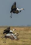 Wattled crane, Okavango Delta, Botswana
