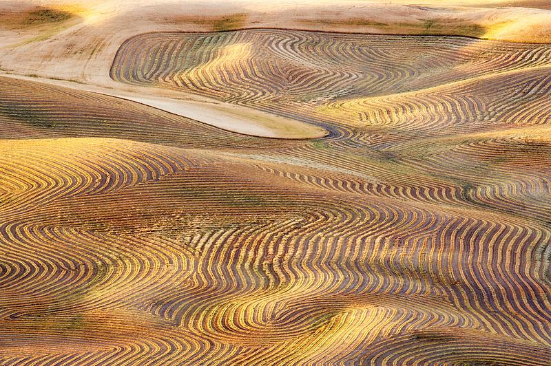 Cut rows of lentil beans. The Palouse. Washington