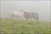 Neck-rubbing Tibetan horses in mist.