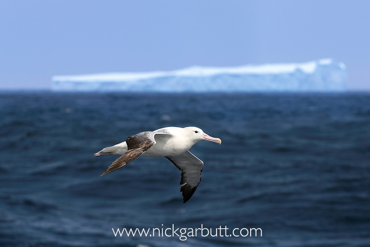 Wandering albatross (or snowy albatross, white-winged albatross or goonie) (Diomedea exulans) in flight close to a huge iceberg in the South Atlantic Ocean near South Georgia.