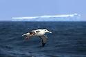 Wandering albatross (or snowy albatross, white-winged albatross or goonie) (Diomedea exulans) in flight close to a huge iceberg in the South Atlantic Ocean near South Georgia.