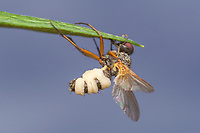 A fly killed by the pathogenic fungus Entomophthora muscae aka Fly Death Fungus.