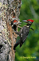 1P06-001z  Pileated Woodpecker - feeding young - Dryocopus pileatus or Hylatomus pileatus