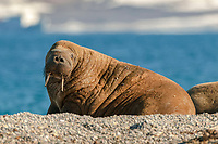 Atlantic walrus, Odobenus rosmarus rosmarus, at the beach, Svalbard, Spitsbergen, Norway, Europe