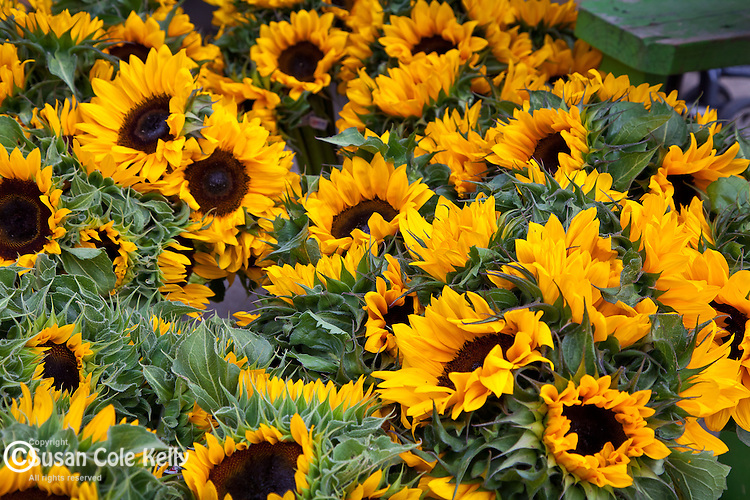 Fresh sunflowers at the Summer Farmers Market in historic downtown Burlington, VT, USA