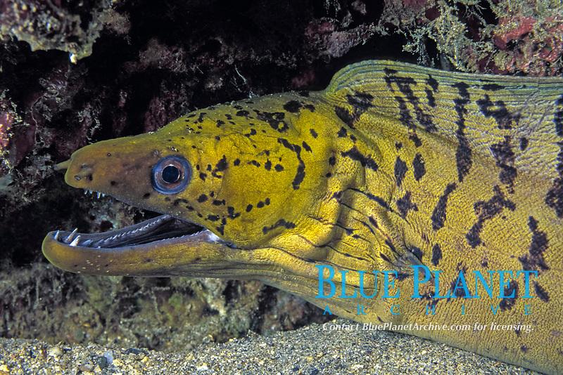 darkspotted moray eel, Gymnothorax fimbriatus, Milne Bay, Papua-New Guinea