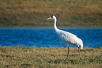 Whooping Crane, Rockport, Texas