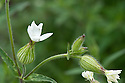 White campion (Silene latifolia), mid June.