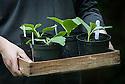 A tray of Pumpkin 'Atlantic Giant' seedlings grown in pots, late June.