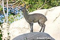0604-1112  Klipspringer (Rock Jumper Antelope), Small Antelope on Boulders, Oreotragus oreotragus  © David Kuhn/Dwight Kuhn Photography