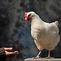 23/11/12 - MONTLUCON - ALLIER - FRANCE - Concours National Avicole de Montlucon . GR poule Gatinaise blanc. Eleveur Impro L'acceuil - Photo Jerome CHABANNE