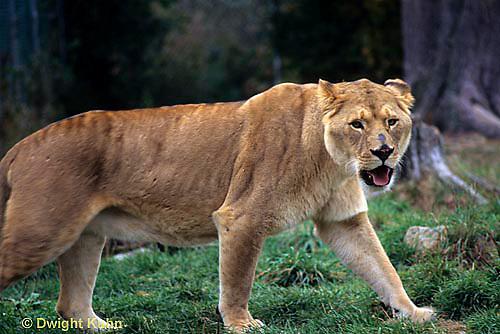 MA39-019z  African Lions - Panthera leo