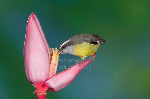 Bananaquit, Coereba flaveola, adult drinking nectar from Ornamental Banana plant flower(Musa velutina), Central Valley, Costa Rica, Central America
