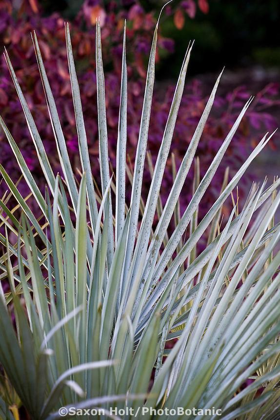 Leaf of Chamaerops humilis v. argentea - Blue Mediterranean Fan Palm San Francisco Botanical Garden