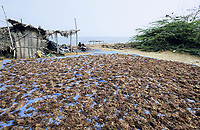INDIA, Tamil Nadu, Gulf of Mannar <br /> Pepsi Foods Ltd. Farm for seaweed cultivation, algae is used for processing of Agar-agar or Carrageenan as food additional for ice cream, Cola etc. / INDIEN, Tamil Nadu, Golf von Mannar, Pepsi Foods Ltd. Farm ffuer Kultivierung von Rotalgen, aus den Rotalgen werden Agar Agar gewonnen