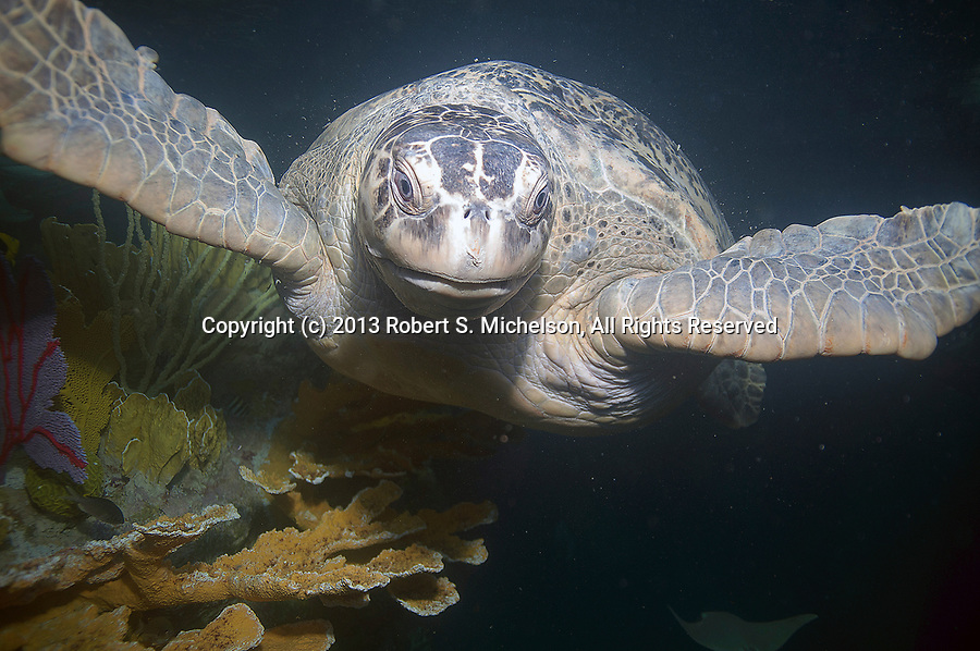 Green Sea Turtle swimming to camera near the surface