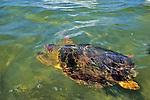 Loggerhead Turtle Swims Away