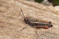 Buntbäuchiger Grashüpfer, Omocestus rufipes, Omocestus ventralis, woodland grasshopper