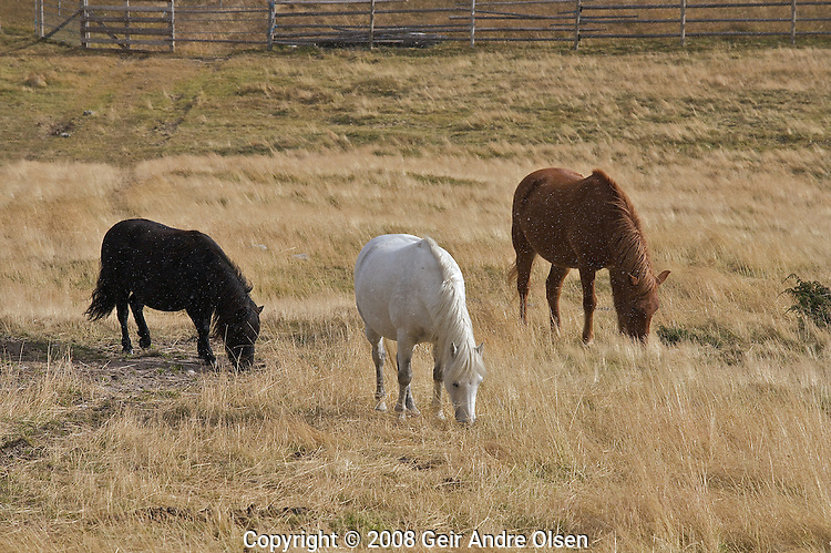 Horses eating grass on a farm just outside Rondane National Perk in Norway