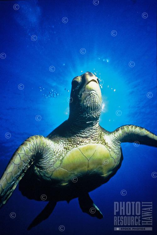 Endangered Hawaiian green sea turtle with sun behind head