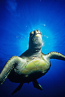 Endangered Hawaiian green sea turtle with sun behind head