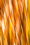 yellow and orange abstract of river reeds