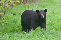 Black Bear watching from the edge of a forest