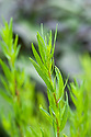Tarragon (Artemisia dracunculus), late May. The true Estragon or French tarragon.