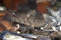 Schwarzgrundel, Schwarz-Grundel, Schwarzküling, Grundel, Gobius niger, black goby