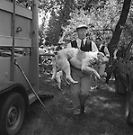 The Valley Minkhounds..Whipper-in, Michael Riching, carries a hound back to the wagon in the traditional manner. Near Aldermaston, Berkshire..Hunting with Hounds / Mansion Editions (isbn 0-9542233-1-4) copyright Homer Sykes. +44 (0) 20-8542-7083. < www.mansioneditions.com >..