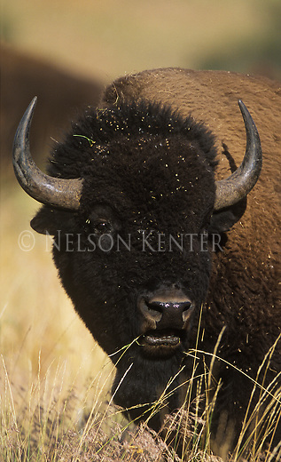 Large Bison Bull in Montana