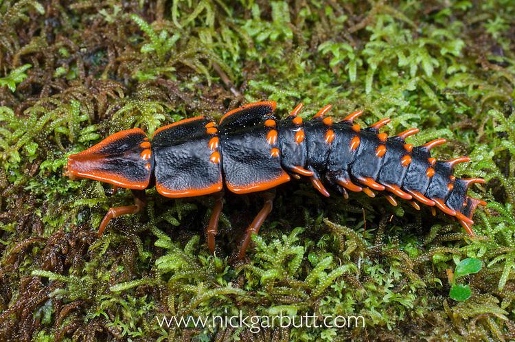 Female Trilobite Beetle (Duliticola sp.) - Lycidae. Female remains in larval form when mature. Mt Kinabalu, Sabah, Borneo.