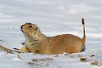 Blacktail Prairie Dog