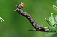 Measuringworm Moth (Geometridae),  caterpillar, Laredo, Webb County, South Texas, USA