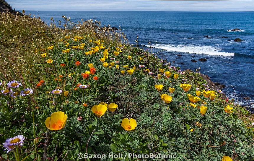 California native wildflowers on coastal bluff overlooking Pacific Ocean at The Sea Ranch with Eschscholzia californica var. maritima, yellow coastal form of California poppy