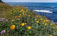 California native wildflowers on coastal bluff overlooking Pacific Ocean at The Sea Ranch with Eschscholzia californica var. maritima, yellow coastal form of California poppy