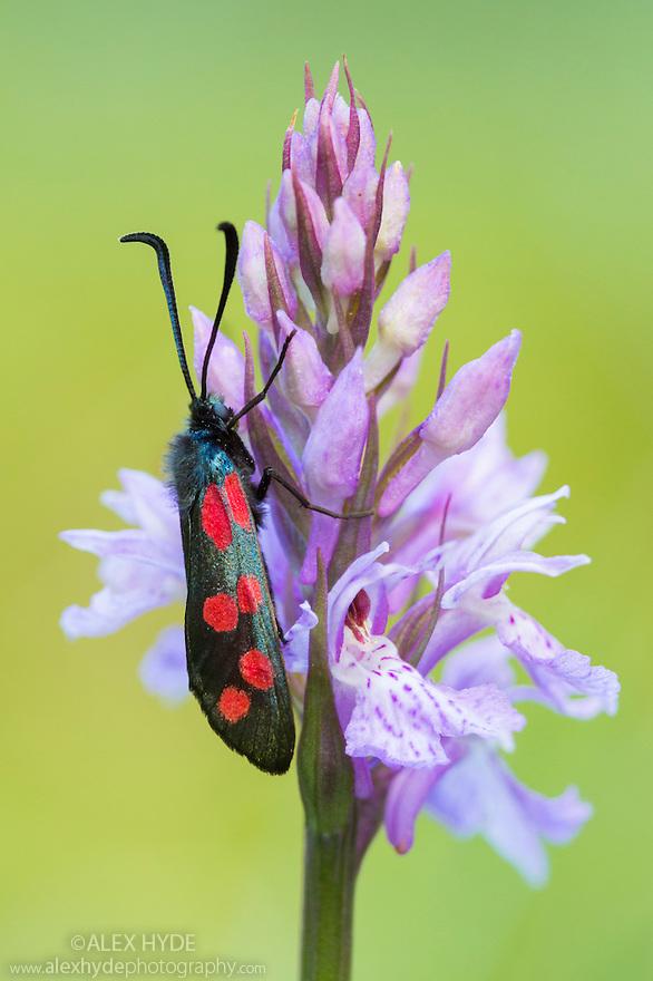 Six-spot Burnet (Zygaena filipendulae). Nordtirol, Austrian Alps, Austria, July.