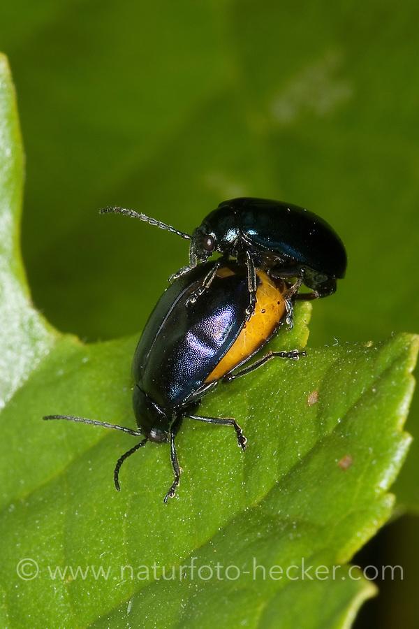 Blauer Erlenblattkäfer, Paarung, Kopula, Erlen-Blattkäfer, Agelastica alni, alder leaf-beetle