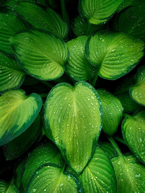 Close up of Hosta plant with rain drops. Schrieners Iris Gardens. Oregon