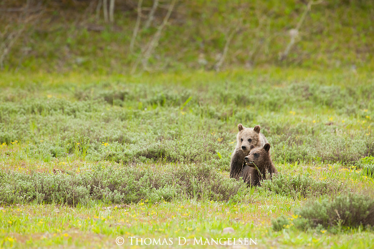 Two grizzly bear cubs (399's) stand in a meadow in Grand Teton National Park, Wyoming.